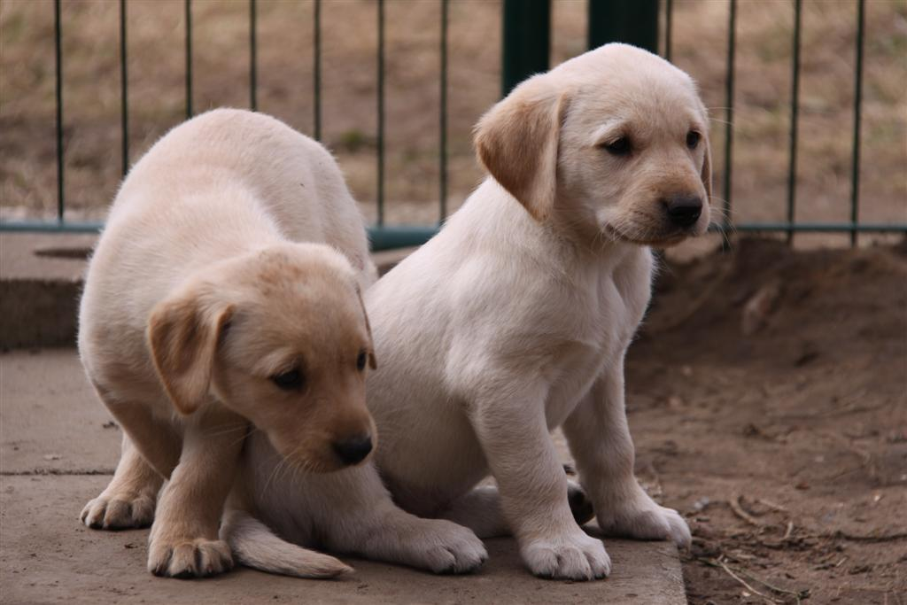 Labrador Retriver Von Der Zauberweide Zucht Welpen Drc Zuchter
